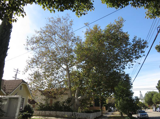 Sycamore at 1122 California Avenue (Courtesy City of Santa Monica)