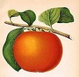 Persimmon drawing